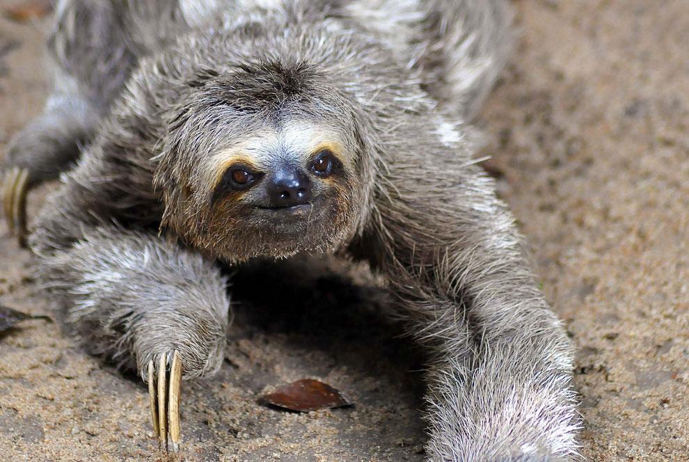 Картинка ленивица животное