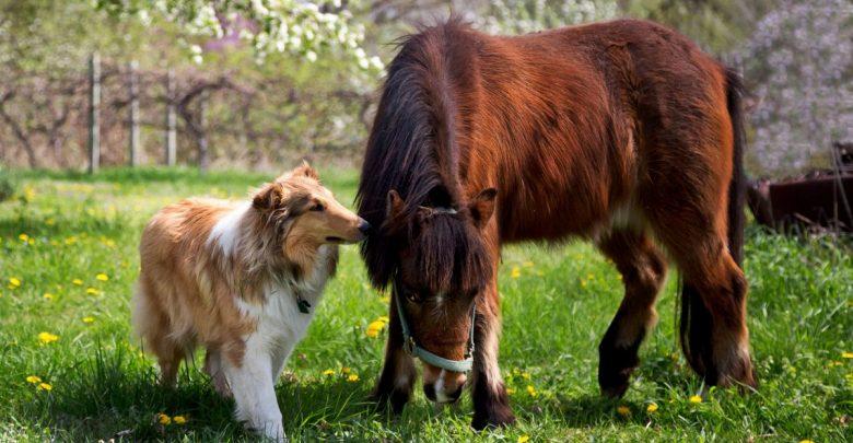 Пони маленькая лошадь