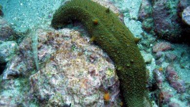 Морской огурец голотурия