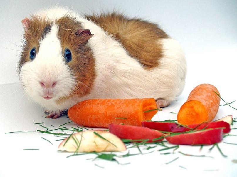 Морская свинка: уход и содержание в домашних условиях