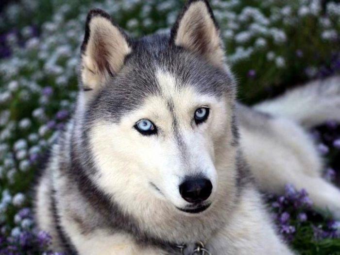 Хаски - собака, которая требует особого ухода