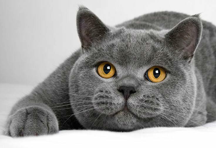 британские кошки крупные или среднего размера