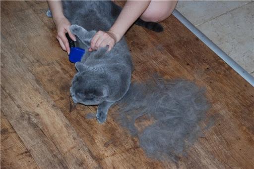 Уход за шерстью британской короькошерстной кошкой