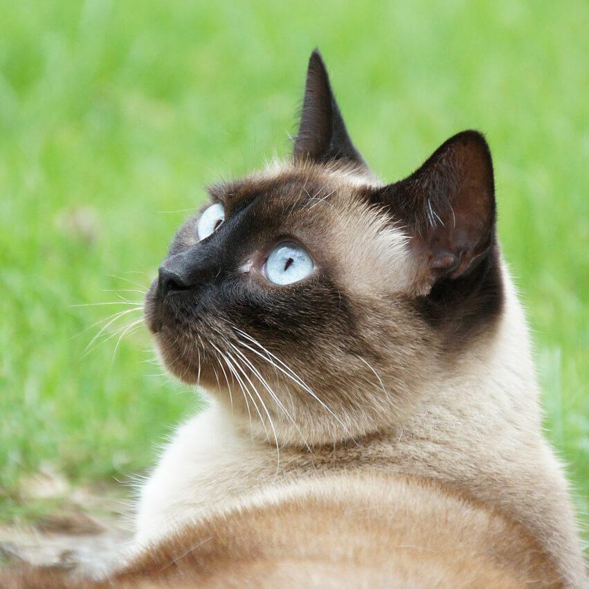 Сиамская кшка все о породе