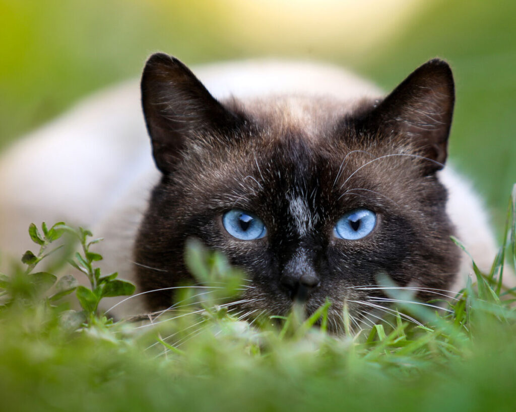 фото сиамской кошки, характер и уход