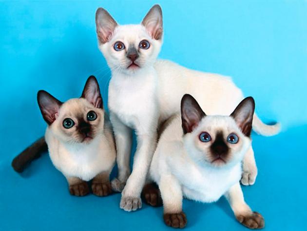 сиамские котята, питание и содержание