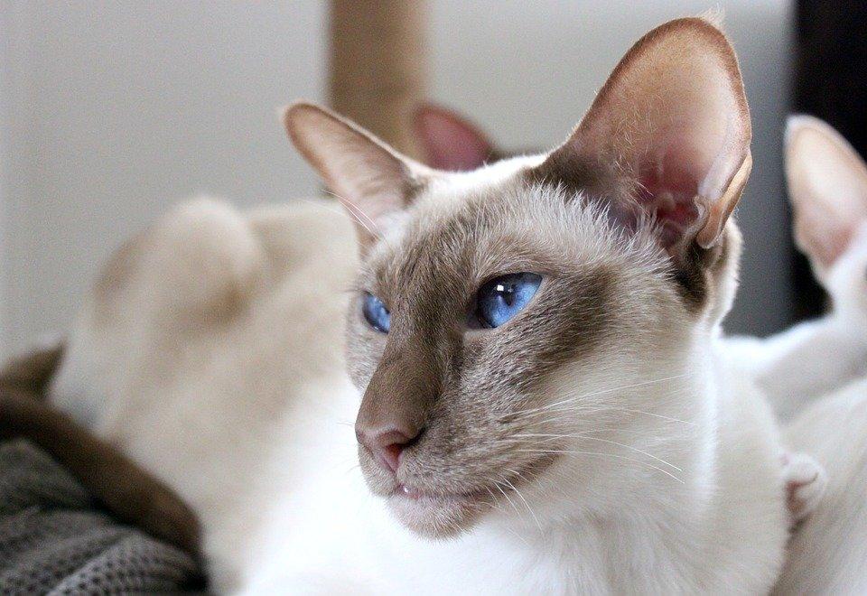 сиамские коты и кошки фото